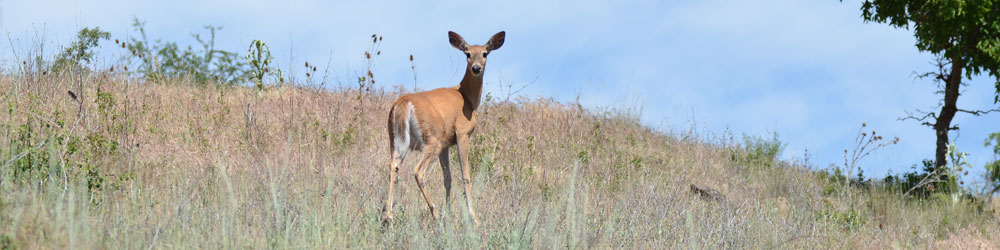 The deer spotted humans at Hells Canyon in Whitebird.