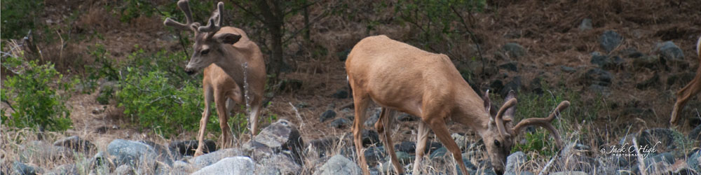 Bucks scouring for foliage in Hells Canyon