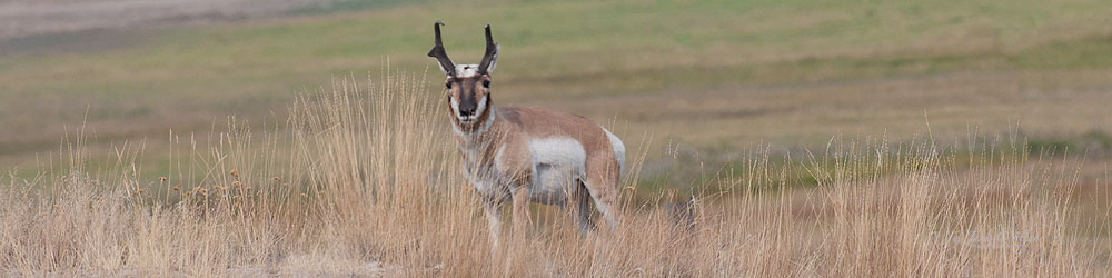 A Pronghorn Antelope posing for a picture.